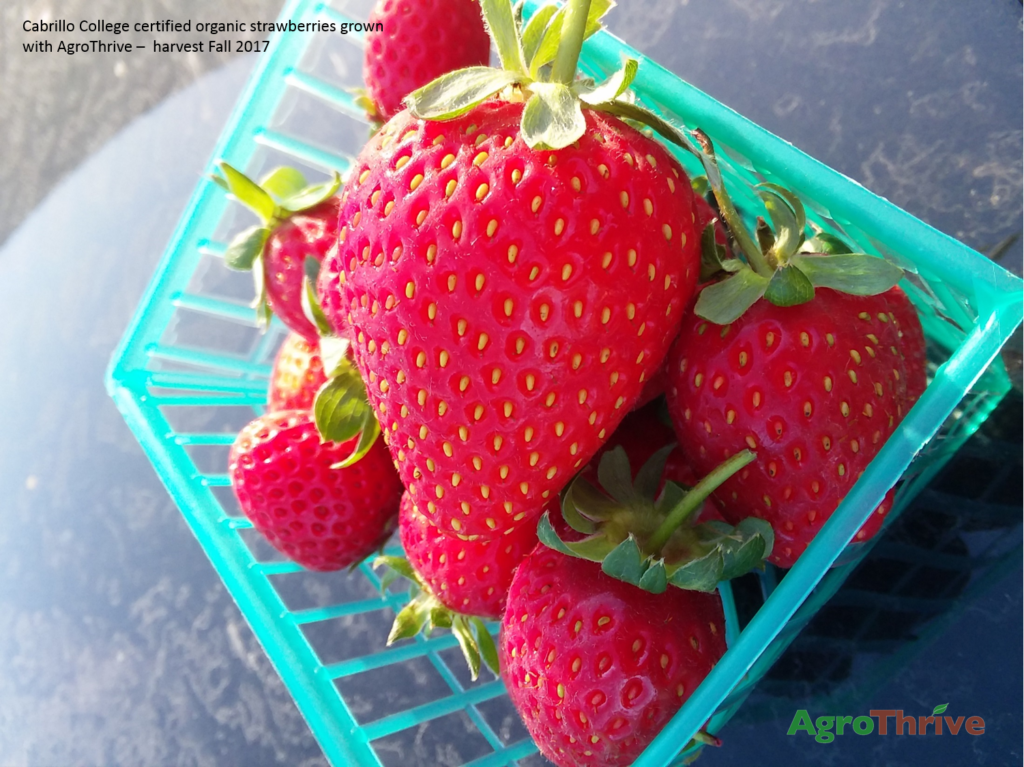 Strawberries grown on AgroThrive at Cabrillo College